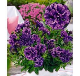 Petunia x atkinsiana Tiny Pleasure® ´Double Amethyst Vein´ / Petúnia plnokvetá, bal. 6 ks sadbovačov