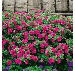 Petunia x atkinsiana Funny Pleasure® ´Double Hot Pink´/ Petúnia plnokvetá, surfínia, K7