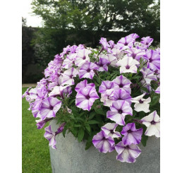 Petunia Prettytoonia® ´Blue Jet´ / Petúnia, bal. 6 ks sadbovačov