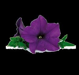 Petunia SURFINIA® ´Blue´ / Petúnia, bal. 6 ks sadbovačov