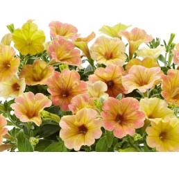 Petunia Chameletunia® Mango´ / Petúnia, bal. 3 ks, 3x K7