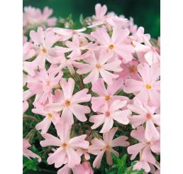 Phlox subulata ´Ronsdorfer Schone´ / Flox šidlolistý ružový, K9