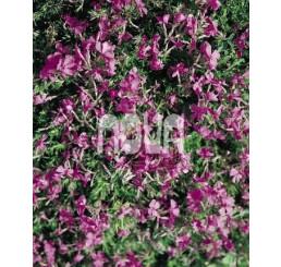 Phlox subulata ´Purple Beauty´ / Flox šidlolistý, K9