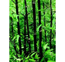Phyllostachys nigra/ Pabambus čierny, 40-50 cm, C2