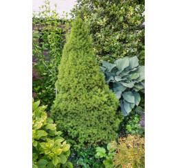 Picea glauca ´Conica´ / Smrek biely kužeľovitý, 15-20 cm, C1,5