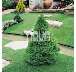 Picea glauca ´Conica´ / Smrek biely kužeľovitý, 30-40 cm, C2