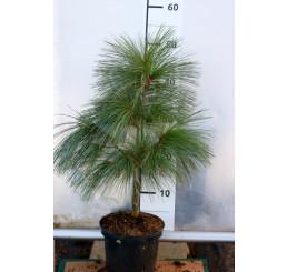 Pinus schwerinii ´Wiethorst´/ Borovica , 40-60 cm, C2