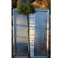 Pinus strobus ´Green Curls´ / Borovica na kmienku, 80-120 cm, C7,5