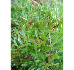 Pistacia lentiscus / Mastiková pistácia, 10-15 cm, K9