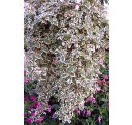 Plectranthus coleoides / Plektrant panašovaný, bal. 3 ks, 3xK7