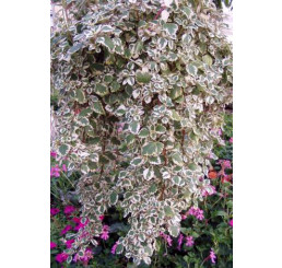 Plectranthus coleoides / Plektrant panašovaný, bal. 6 ks sadbovačov