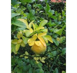 Poncirus trifoliata / Citrónovec trojlistý, 25-30 cm, C3
