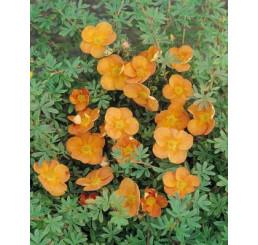 Potentilla fruticosa ´Sunset´ / Nátržník oranžový, 15 - 20 cm, K12
