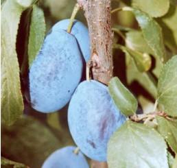 Prunus domestica ´Presenta´ / Slivka jesenná, myr.