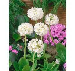 Primula denticulata ´Alba´ / Prvosienka zúbkatá, K9