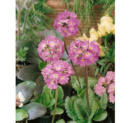 Primula denticulata ´Lilac´ / Prvosienka zúbkatá, K9