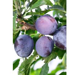 Prunus domestica ´Toptaste´ / Slivka jesenná veľkoplodá, St. Julien A