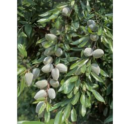 Prunus dulcis ´Palatina´ / Mandľa, GF-677