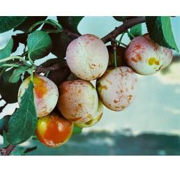 Prunus domestica ´Althanova´ / Ringlota červená, Myr.