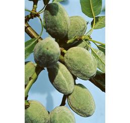Prunus dulcis / Mandľa sladkoplodá krajová, br.mandľa