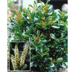 Prunus laurocerasus ´Etna´® / Vavrínovec, 25-30 cm, C2,5