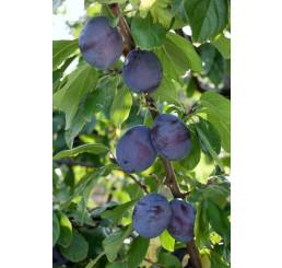 Prunus domestica ´President´ / Slivka, myr.