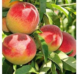 Prunus persica ´Redhaven´ / Broskyňa skorá, Adesoto