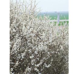 Prunus spinosa / Trnka obyčajná, bal. 10 ks VK na živý plot