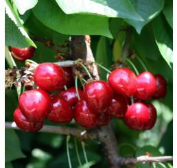 Prunus avium ´Van´ / Čerešňa, Gisela 5
