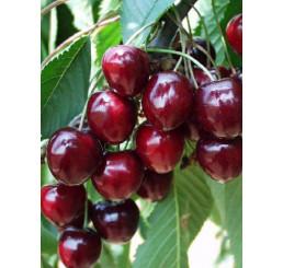 Prunus avium ´Karešova´ / Čerešňa, Colt