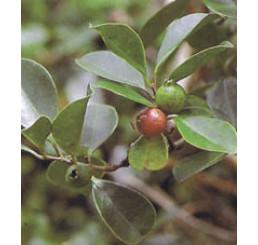 Psidium cattleyanum / Jahodový stromček, K7