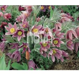 Pulsatilla vulgaris / Poniklec, K9