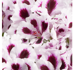 Pelargonium grandiflorum PAC® ´Aristo Purple Stripes´ / Muškát veľkokvetý, bal. 3 ks, 3x K7
