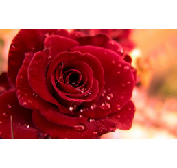 Rosa ´Queen of Bermuda´ / Ruža čajohybrid červená, krík, BK