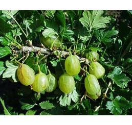Ribes grossularia ´Prima´ / Egreš rezistentný, štepený ker, VK, 2-3 výh.