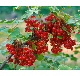 Ribes rubrum ´Maraton´ / Ríbezľa červená, ker, K12