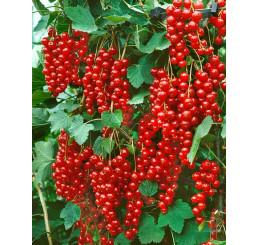 Ribes rubrum ´Stanza´ / Ríbezľa červená, ker, 4-5 výh., VK