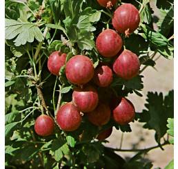 Ribes grossularia ´Kameniar´ / Egreš , ker, 4-5 výh., VK