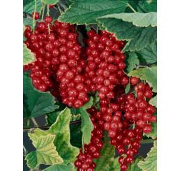 Ribes rubrum ´Maraton´ / Ríbezľa červená, kmienok, 2-3 výhony