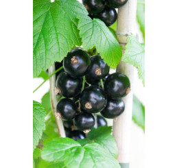 Ribes nigra ´Bona´ / Ríbezľa čierna, ker, 2-3 výh., VK