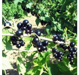 Ribes nigra ´Tisel´ / Ríbezľa čierna, 2-roč. krík