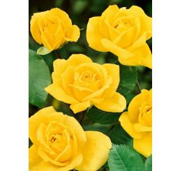 Rosa ´Arthur Rio´ / Ruža mnohokvetá, krík, BK