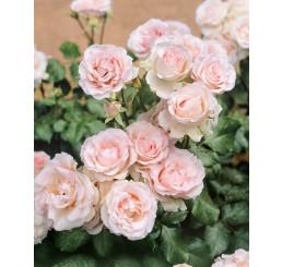 Rosa ´Clg. Cairo´ / Ruža popínavá, krík, BK