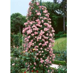 Rosa ´Clg. Coral Dawn´ / Ruža popínavá, krík, BK