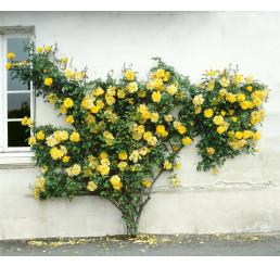 Rosa ´Clg. Golden Sove´ / Ruža popínavá, krík, BK