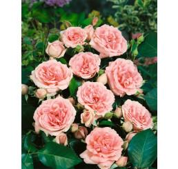 Rosa ´Clg. Kimono´ / Ruža popínavá, krík, BK