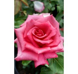Rosa ´Luzia Nistler´ / Ruža čajohybrid, krík, C2,5