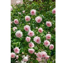 Rosa ´Clg. Parade´ / Ruža popínavá, krík, BK