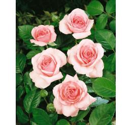 Rosa ´Promise´ / Ruža čajohybrid, krík, BK