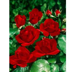 Rosa ´Satchmo´ / Ruža mnohokvetá sýtočervená, krík, C3